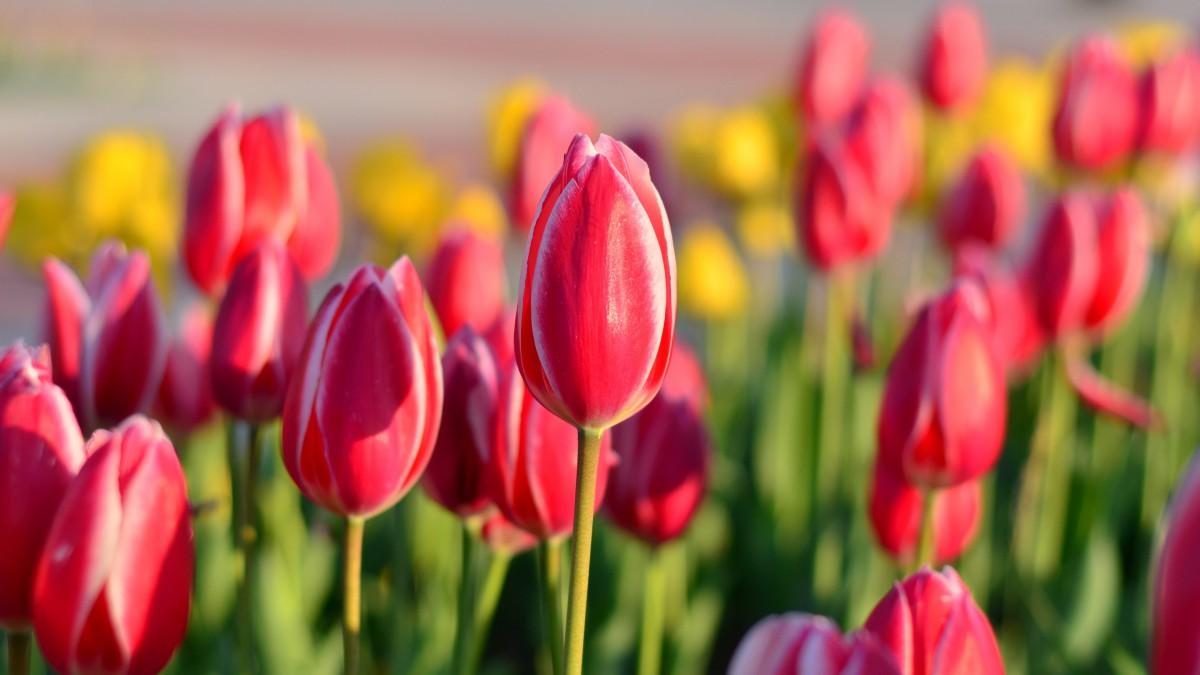 郁金香花朵图片大全大图